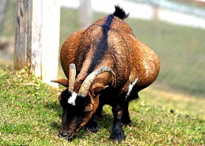 Cabra preñada