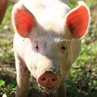 Gestación del cerdo