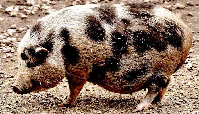 La gestación y reproducción del cerdo