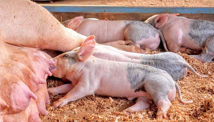 Cerdos mamando