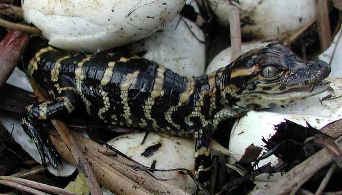 Cocodrilo bebé - Incubación o gestación del cocodrilo