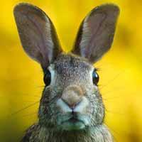 La gestación del conejo