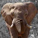 Gestación del elefante