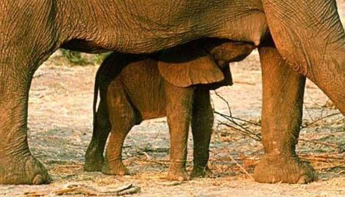 Elefante mamas