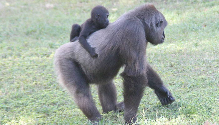 Gorila y su cría