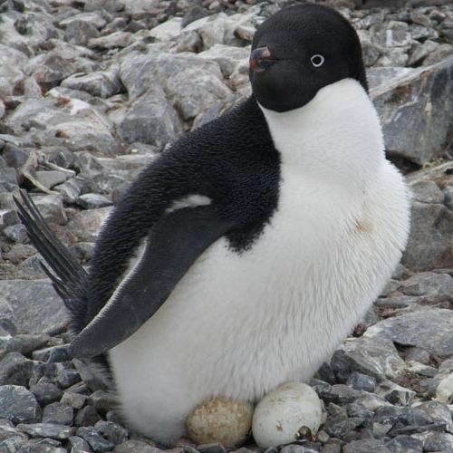 Huevos de pinguino