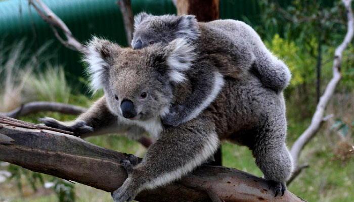Koala y su cría