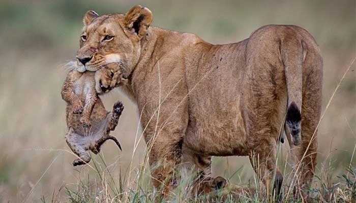 como es el pene de los leones