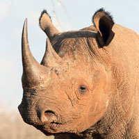 http://www.gestacionde.com/del-rinoceronte/