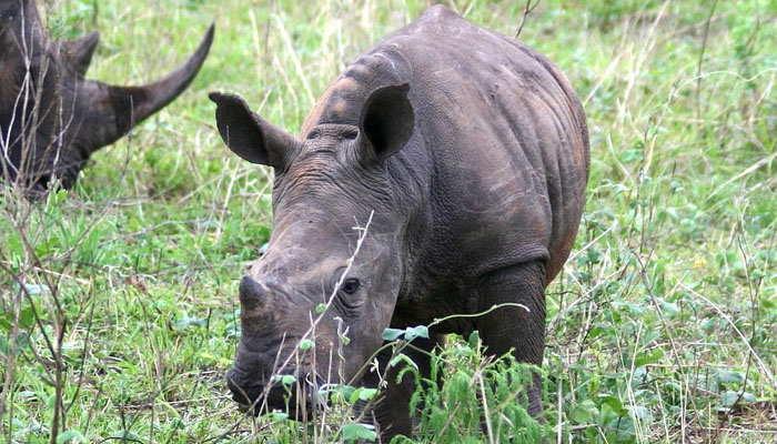 Rinoceronte pequeño