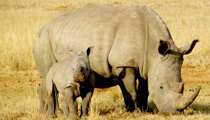 Rinoceronte y su cría