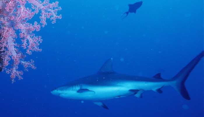 Tiburón nadando