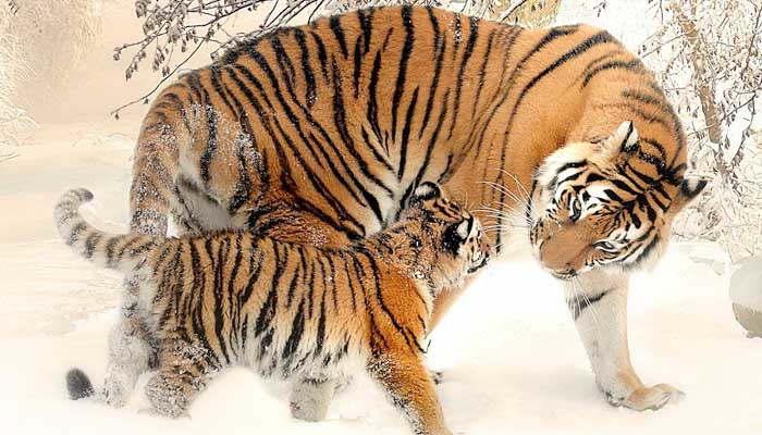 Tigre y su cría
