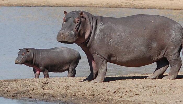Hipopótamo y su cría