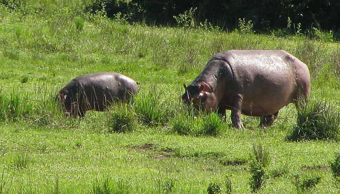 Cría de hipopótamo y su madre