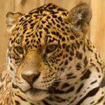 Jaguar, felinos