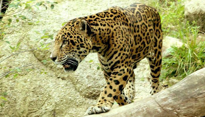 Jaguar , felino