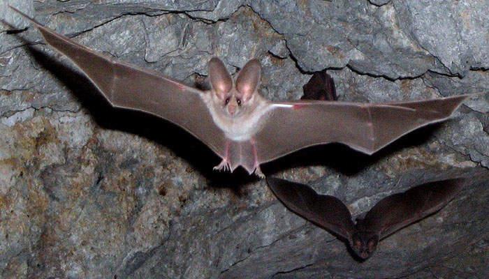 Murciélagos en cuevas