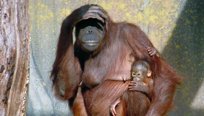 Orangután hembra y su cría
