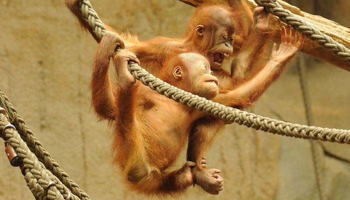 Orangután cría