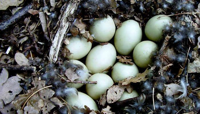 Huevos de pato. Nido