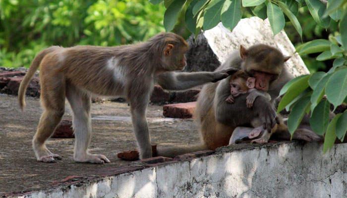 Mono pequeño con sus padres