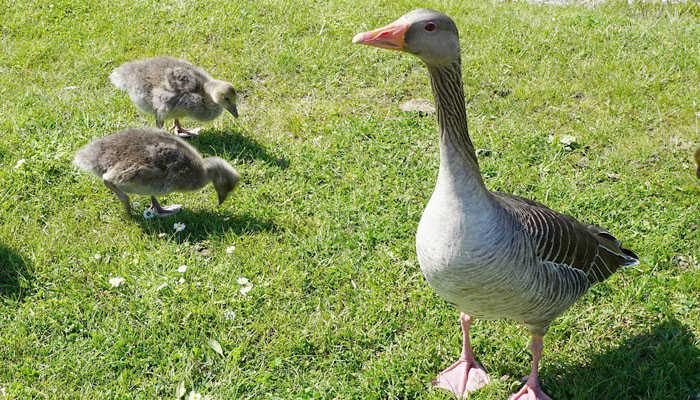 Pato y sus crías