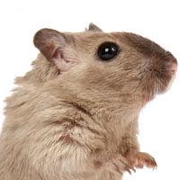 Rata wistar reproduccion asexual en