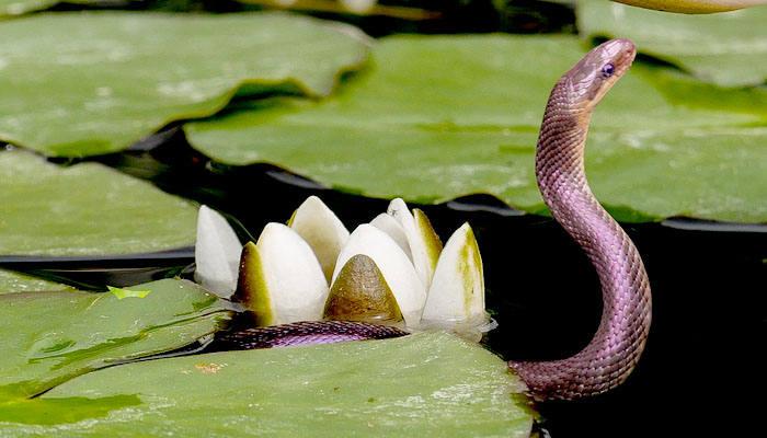 Serpiente nadando