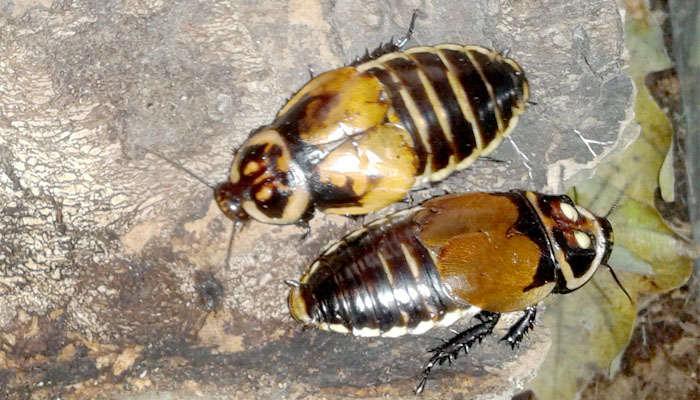Dos cucarachas