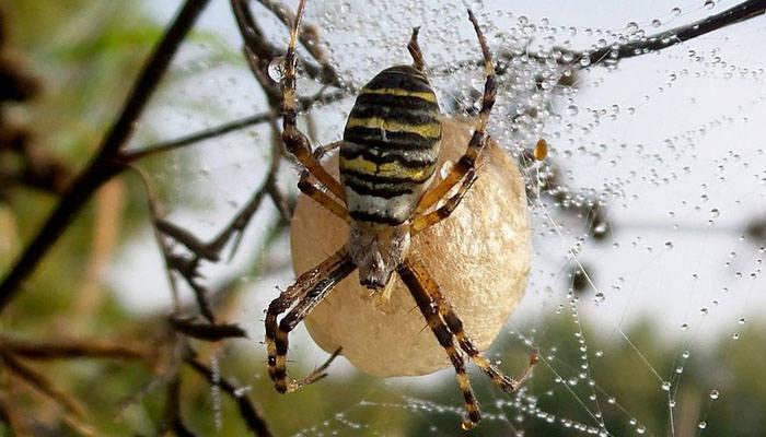 Nido de araña