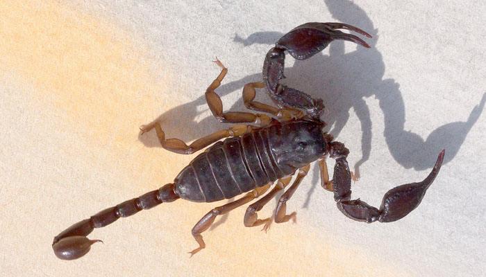 Escorpión adulto