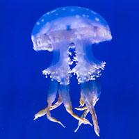 Como se reproducen sexualmente las medusas